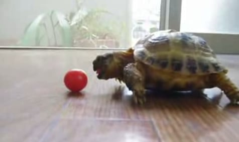 Cute Alert: Tiny Tortoise Tries to Eat a Tomato