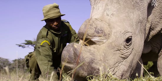 Saving The World's Last 3 Northern White Rhino