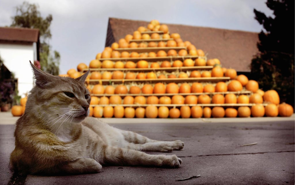 Just as cats guarded Egypt's great pyramids, so too must they protect pumpkin structures the world over!