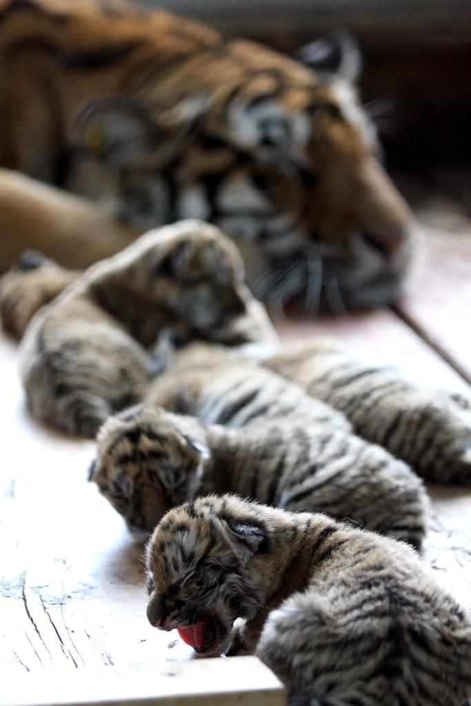 Six Tiger Cubs