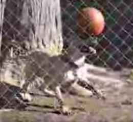 Dog Balances Ball on Nose