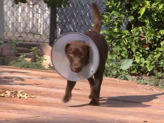 VIDEO: Dog Survives 155 Bee Stings Like a Champ