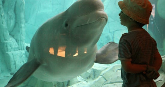 The U.S. Is Taking A Major Step Toward Ending Beluga Whale Captivity