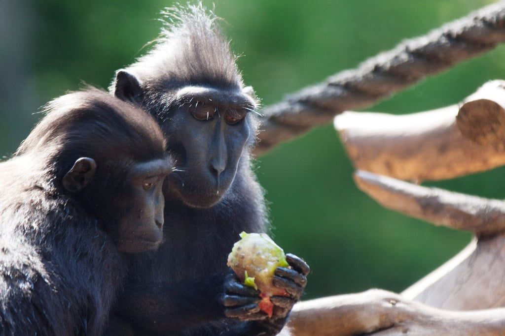 Two macaca nigra monkeys covet frozen fruit to cool off in Tel Aviv's sweltering Summer.