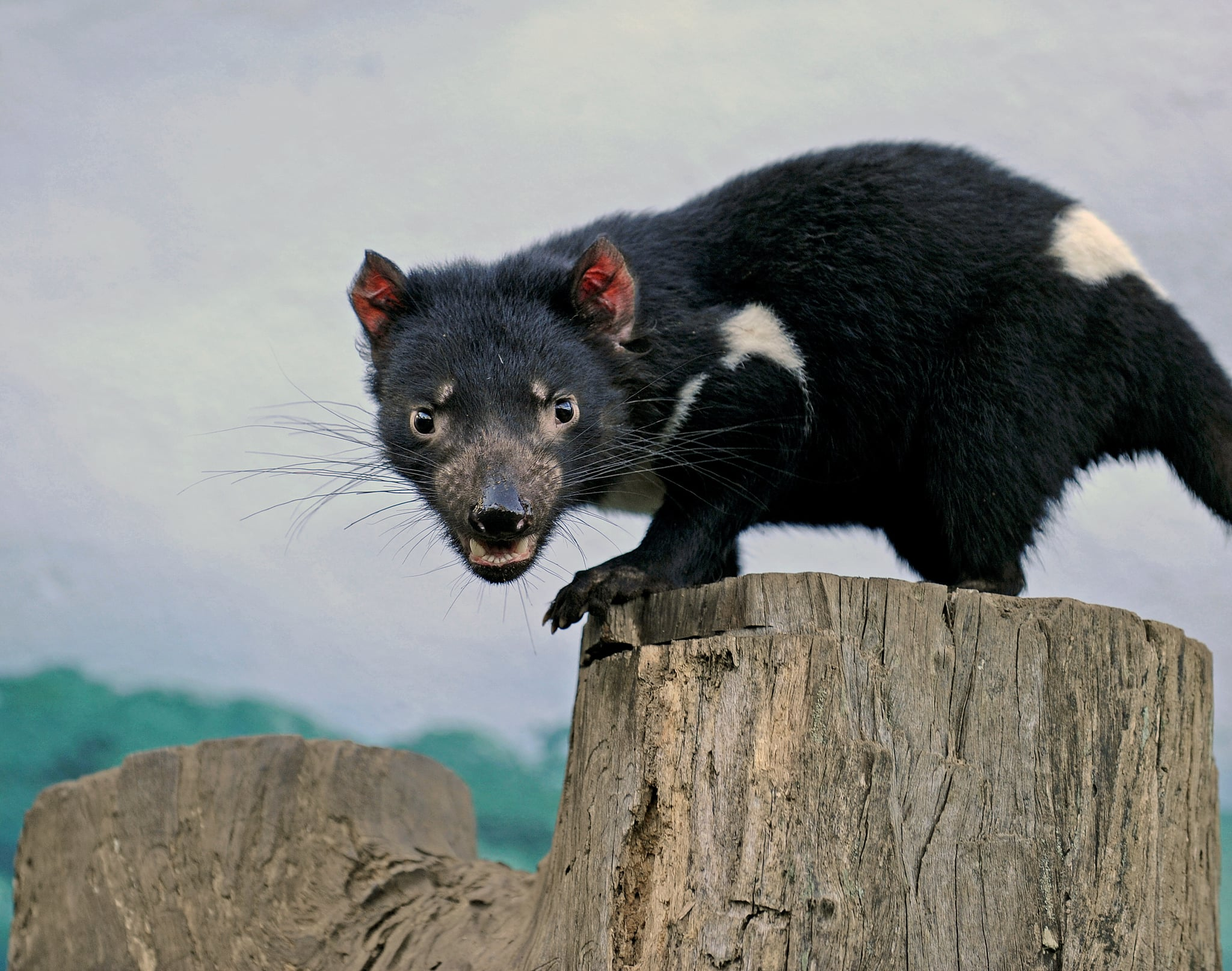 The Tasmanian devil comes by its name honestly, as these animals are notoriously ill-tempered and fly into a snarling, growling rage when threatened by predators.