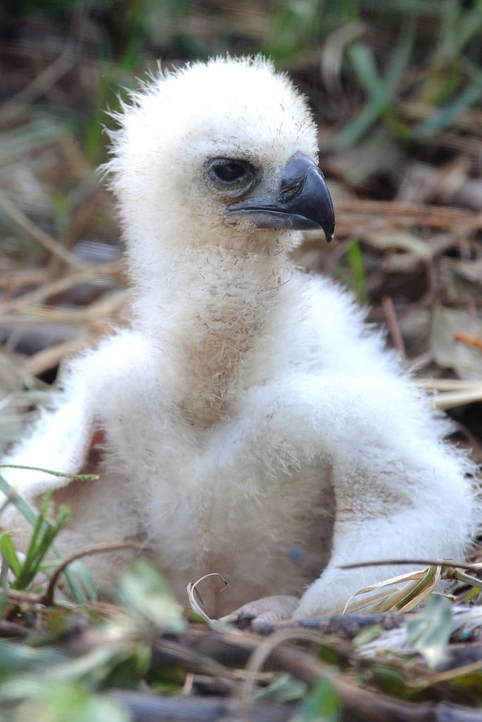 Small Eaglet, Big Eagle
