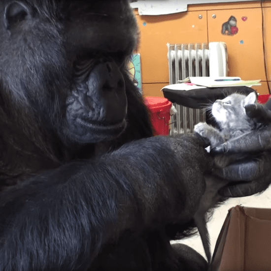 Gorilla Adopts Kittens | Video