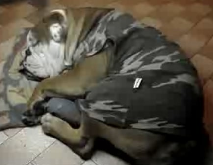 Snoring Bulldog Wakes to Eat