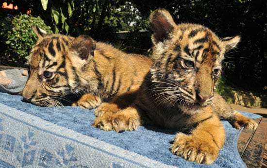 Wealthy Indonesians Can Own a Pet Tiger Duo For $100,000?!
