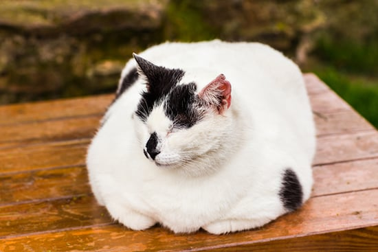 "Health Talk: When Does ""Fluffy"" Become a Feline Obesity Concern?"