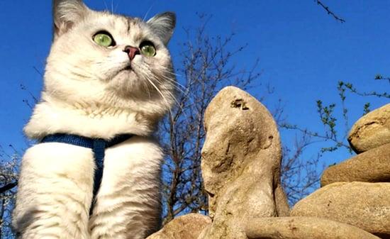 Shanti the Russian Cat Loves iPad Games and Long Walks
