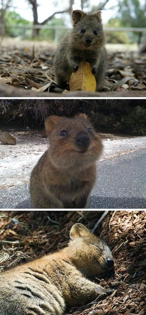 Quokka: The Happiest Animal on Earth