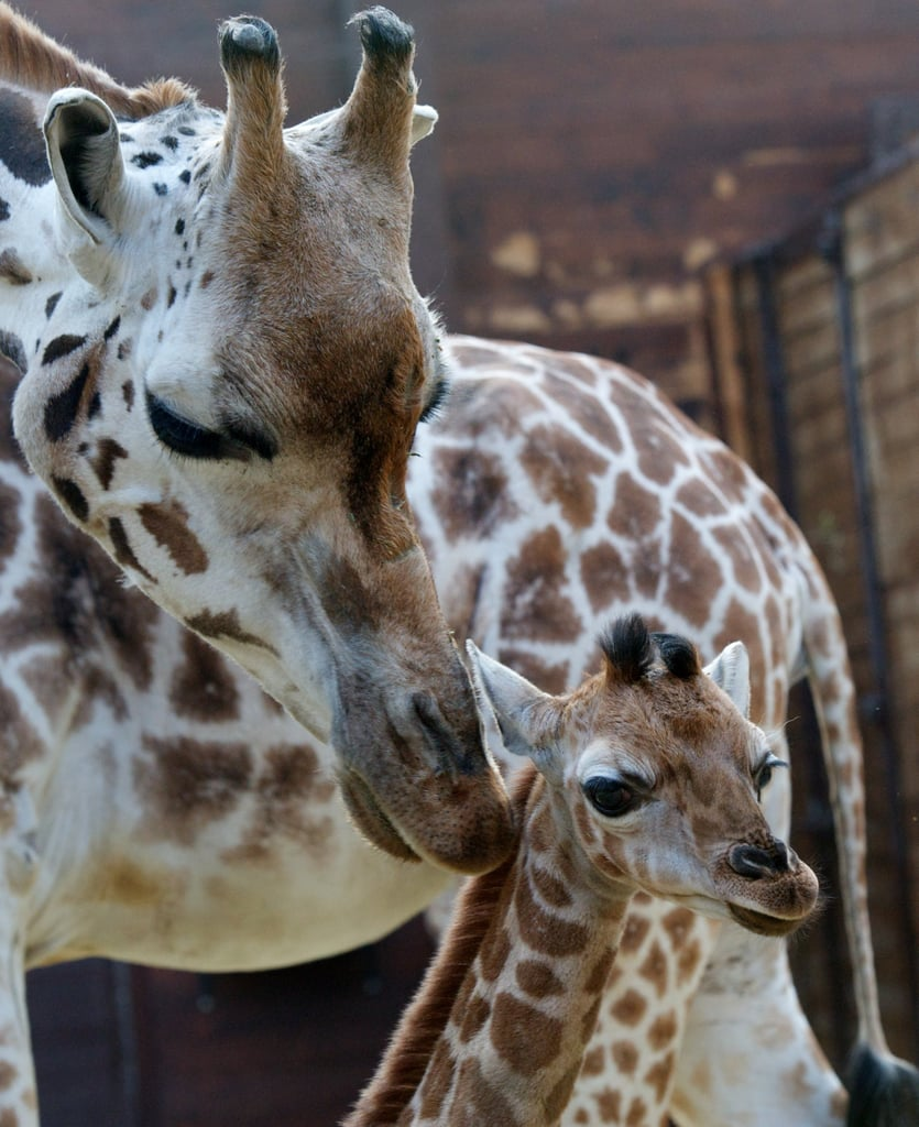 Rothschild giraffes are one of the most endangered subspecies of giraffes, with only a few hundred remaining in the wild.