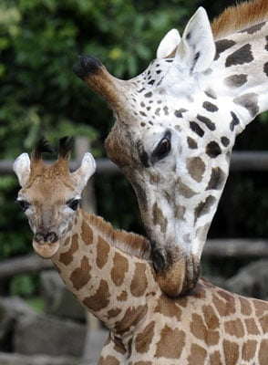 Pictures of the Baby Giraffe Born at Los Angeles Zoo