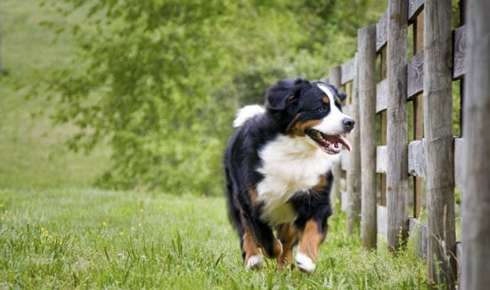 All About Bernese Mountain Dogs