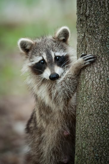 Saw a Raccoon Outside in the Daytime? It Might Not Be What You Think