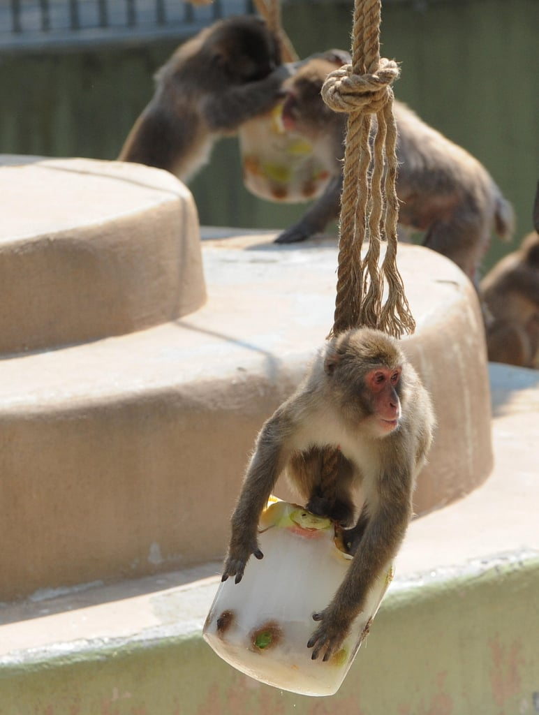 A Macaque monkey is one swinging single as he takes a giant fruit-filled ice pop for himself!