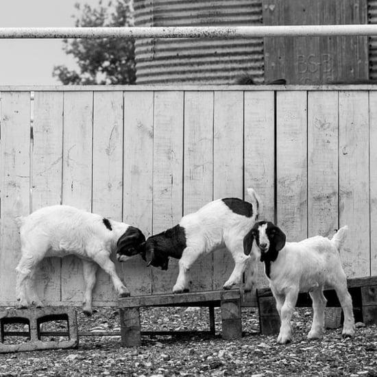 Fixer Upper Break-In Leaves 2 Goats Dead
