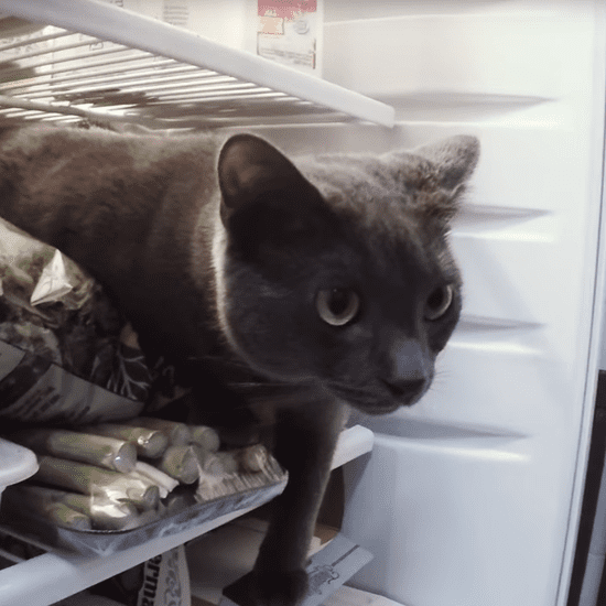 Cat in Fridge | Video