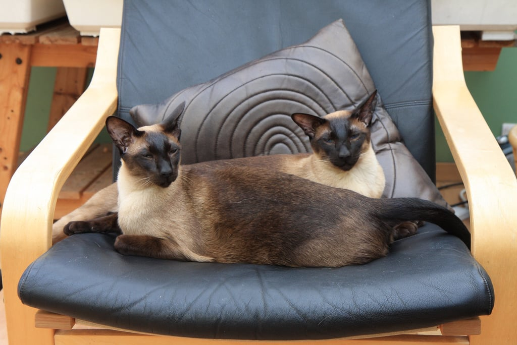 Along with different coat colors, Siamese cats have varying body types. A Traditional Siamese cat, also referred to as an Applehead, has a round apple-shaped head and is the largest of Siamese cats. Classic Siamese cats are slightly smaller in size and have a triangular face. The Modern, or Wedgehead, is a genetically engineered blend of a Traditional and Classic Siamese. Characteristics include large pointed ears, long noses, and slender bodies. Source: Flickr user cookipediachef