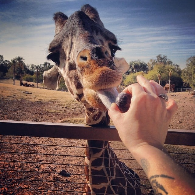 Feed a Giraffe