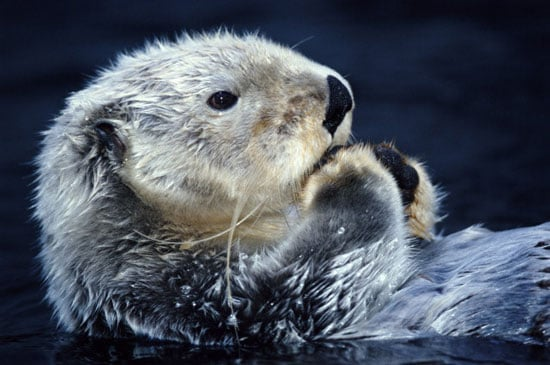 Sea Otter Quiz on Petsugar