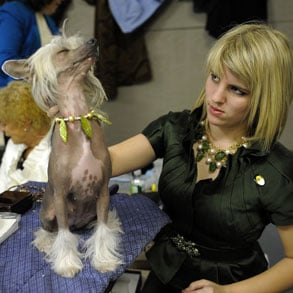 Preparations For Westminster Dog Show