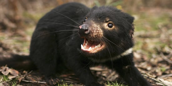 Hidden Tasmanian Devil Colony May Save Endangered Species From Extinction
