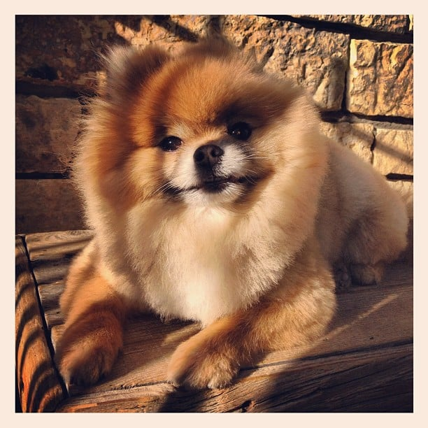 Fashionologie's Christina Perez's Pomeranian, Bjorn, loves basking in the sun.