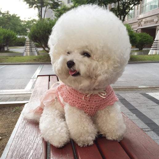 Tori the Bichon Frise Instagram