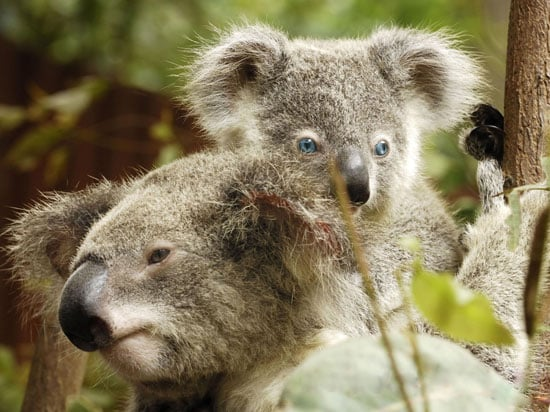 The Scoop: The World's Only Blue-Eyed Koala
