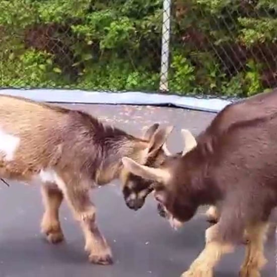 Baby Goats On A Trampoline