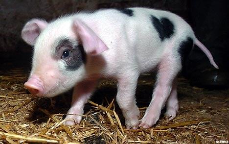 Cute Alert: Valentine the Piglet