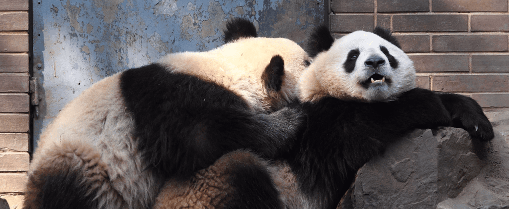 This Male Panda in China Can Go Longer Than Your Boyfriend
