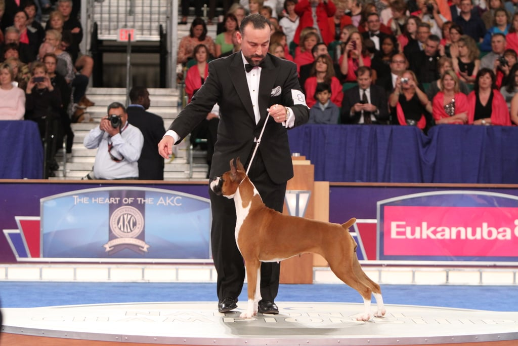 """Boxer GCH CH Winfall Brookwood Styled Dream (""""Scarlett"""") battled her way to number one in the Working group. Source: AKC/Robert Young"""