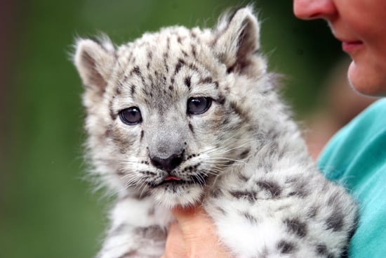 Baby Snow Leopard Emba Born at Germany's Rostock Zoo