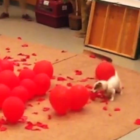 Dog Breaks Balloon-Popping World Record