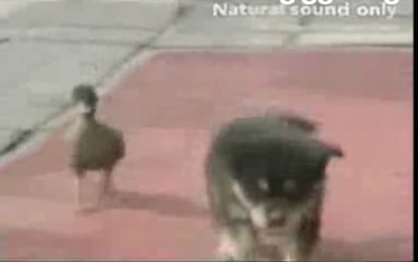Cute Alert: Duckling Loves Doggie