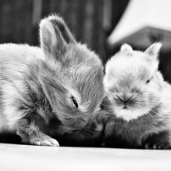 Two bunnies sharing a fur-ny laugh. Source: Flickr user smbuckley23