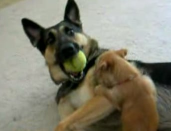 Little Pup Fights With Big Dog