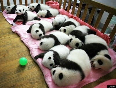Baby Pandas Napping Together Make The World Right Again (PHOTO)