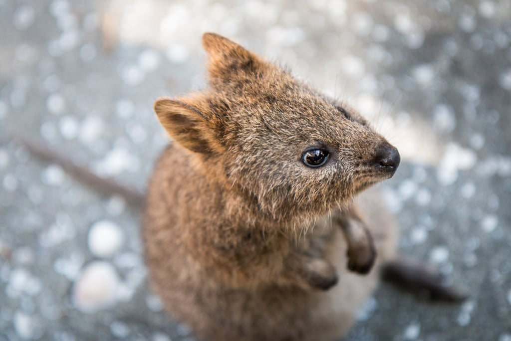 Quokkas are predominantly found on Rottnest Island, off the coast of Western Australia, and while they used to run rampant all over Southwestern Australia, their numbers on the mainland have dwindled.