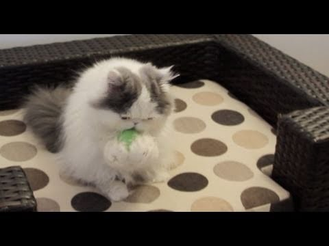 Video of Cat Playing Catch