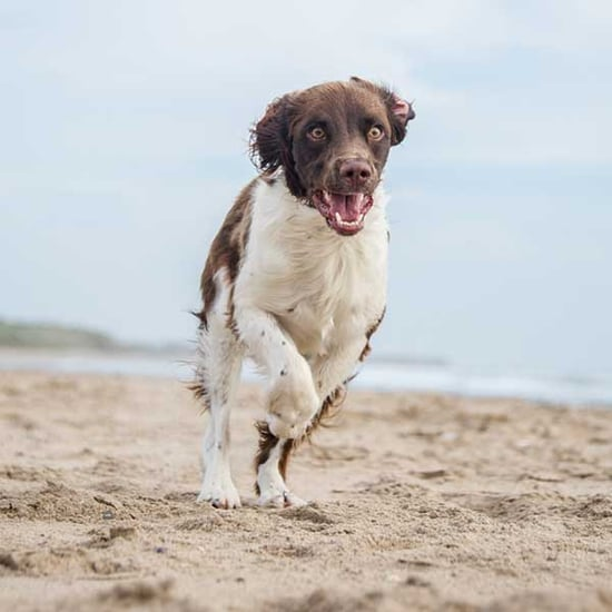 Get to Know the English Springer Spaniel: The Country Squire