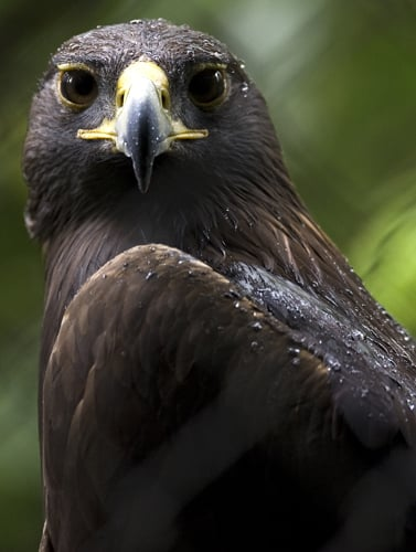 A male golden eagle at the aviary El Nido.