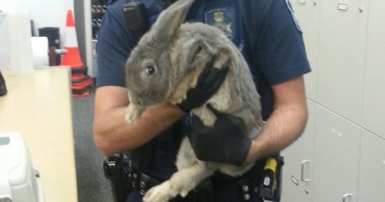 Someone Tried Passing Off This Illegally Owned Rabbit As A Guinea Pig