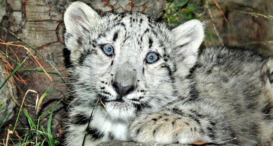 Snow Leopard Cubs In Sunny LA