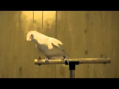 """Video of a Bird Dancing to """"Whip My Hair"""""""