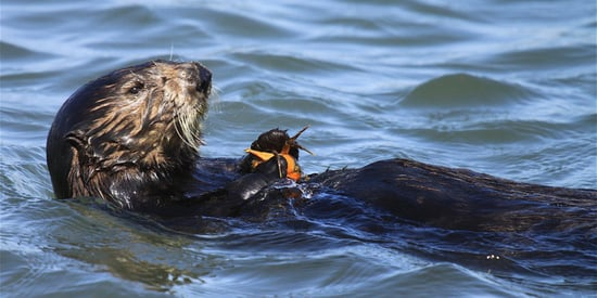 Someone's Shooting Sea Otters In California, And Officials Want Answers