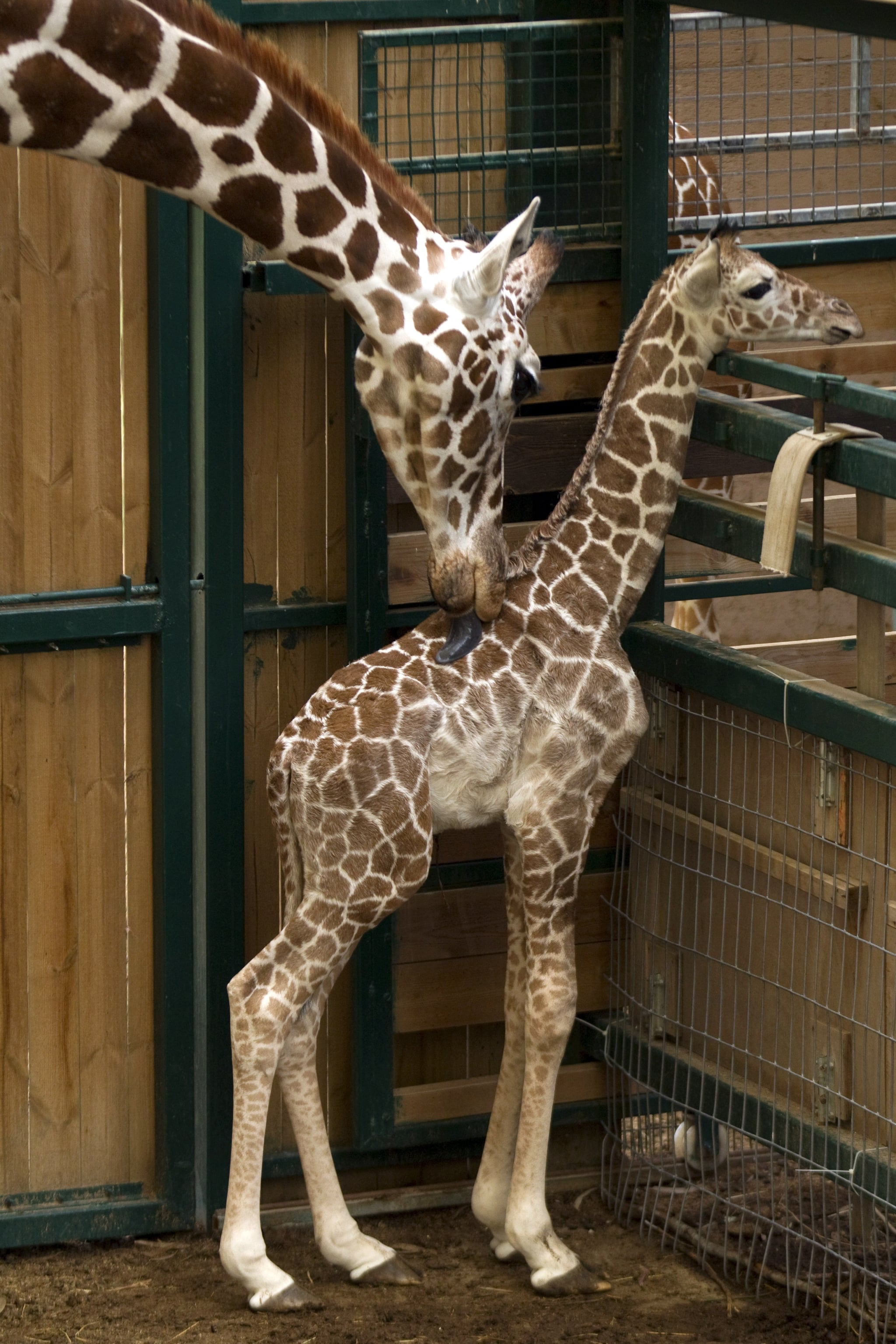 A giraffe's tongue is over a foot long, usually up to 21 inches long.